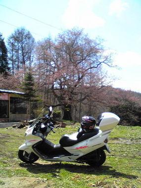 2010立屋の桜.jpg