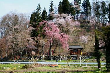 撤燃桜.jpg