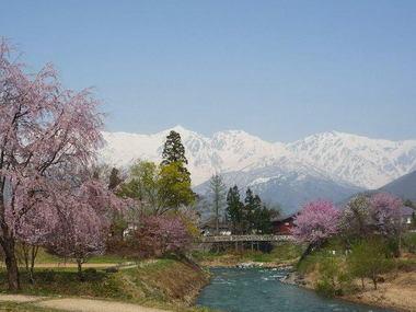 大出の吊橋の桜