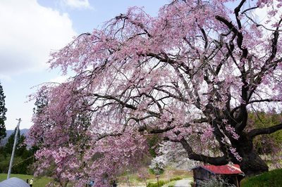 立屋・番所の桜