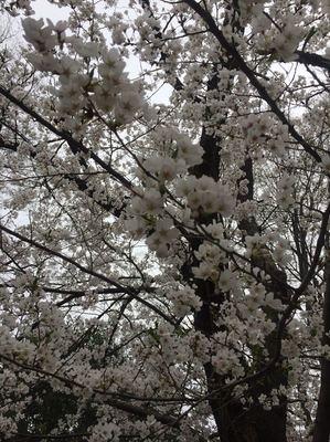 松本城の桜満開