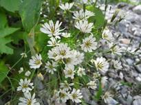 白馬大雪渓の花々