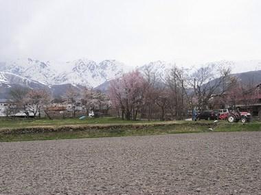 白馬村桜2012.4.30