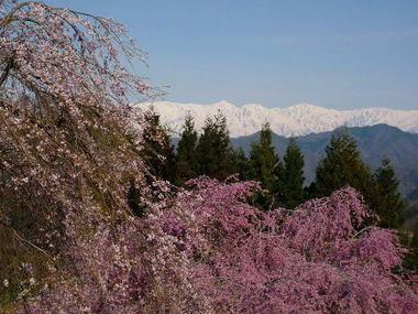 立屋の桜2010年