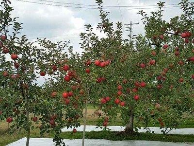 この木のりんごを収穫します.jpg