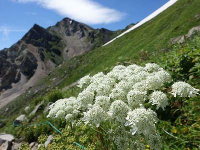 白馬岳お花畑