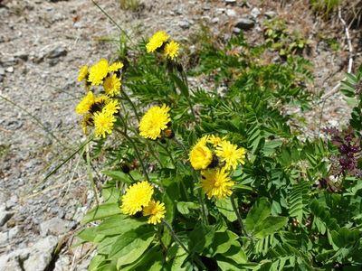 白馬岳の高山植物