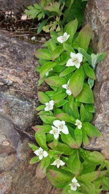 五竜高山植物園の花